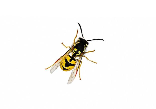 일반적인 말벌 또는 유럽 말벌 또는 일반적인 노란색 재킷으로 알려진 vespula vulgaris. 고품질 사진
