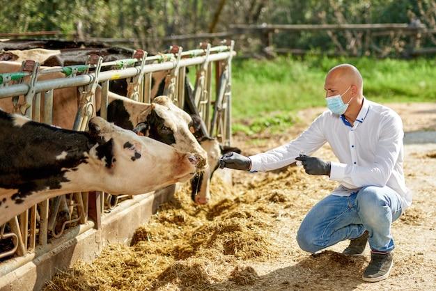 Ветеринар на коровьем животноводческой ферме берет анализы.