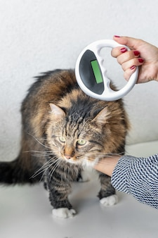 Vet checks the microchip on a cat with microchip scanner