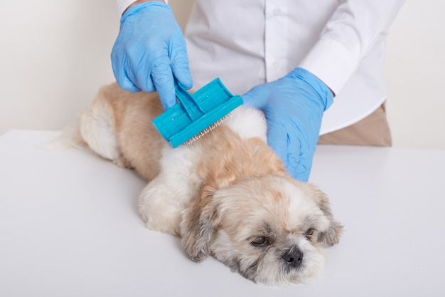 Veterinario che pettina i peli di cane pechinese, facendo procedure di pulizia in clinica veterinaria