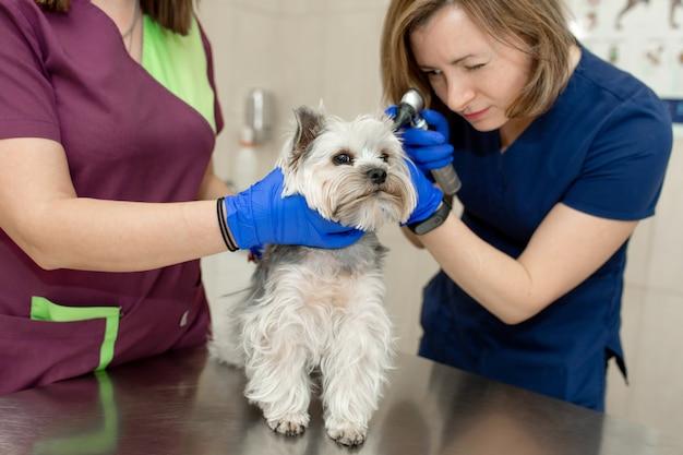 수의사는 동물 병원에서 검 이경의 도움으로 작은 귀여운 강아지를 검사합니다