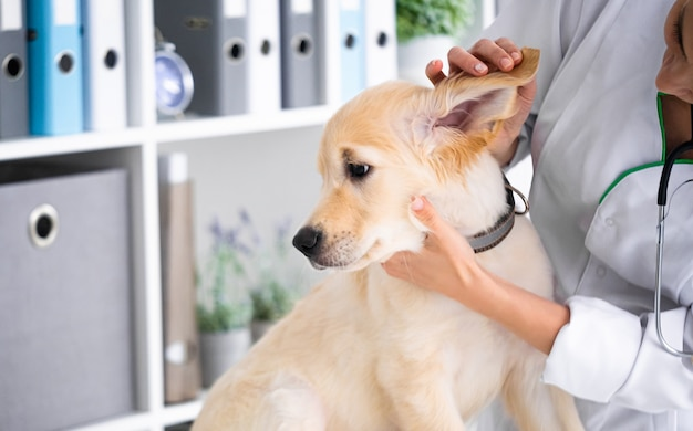 犬の耳を調べる獣医