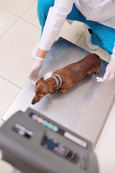 The vet weighs the dog