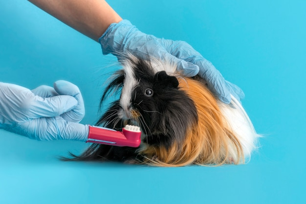Veterinarian brushes teeth of a guinea pig