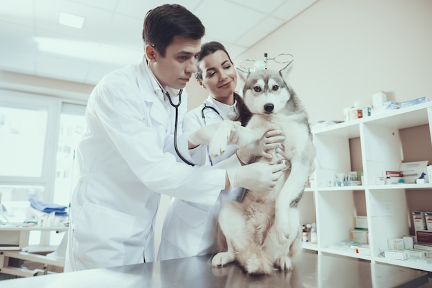 Veterinarian cardiology checking dog heartbeat