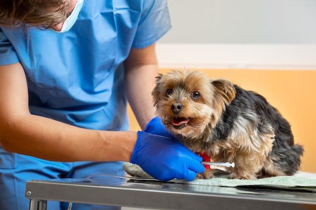 동물 병원에서 정맥 주사로 요크셔 테리어를 돌보는 수의사.