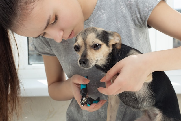 Veterinarian cuts the claws of a small dog toy terrier in the clinic. prevention of diseases on the legs of an animal