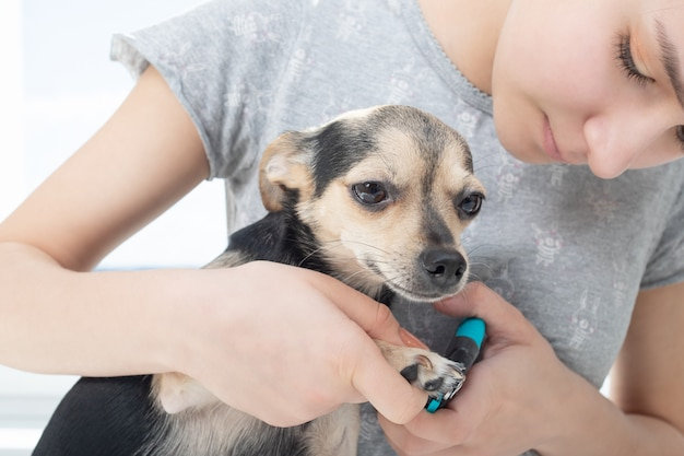 Veterinarian cuts the claws of a small dog toy terrier in the clinic