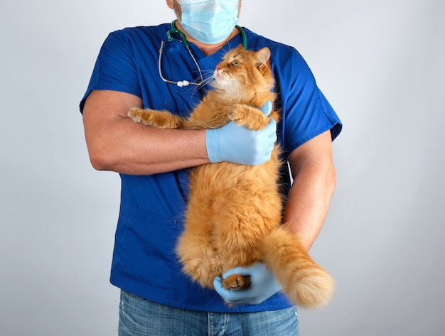 Veterinarian doctor in blue uniform holding big fluffy red cat