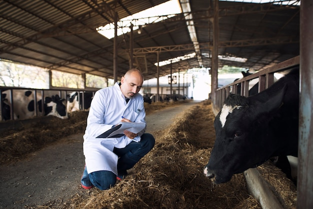 Veterinarian doctor checking health status of cattle at cows farm