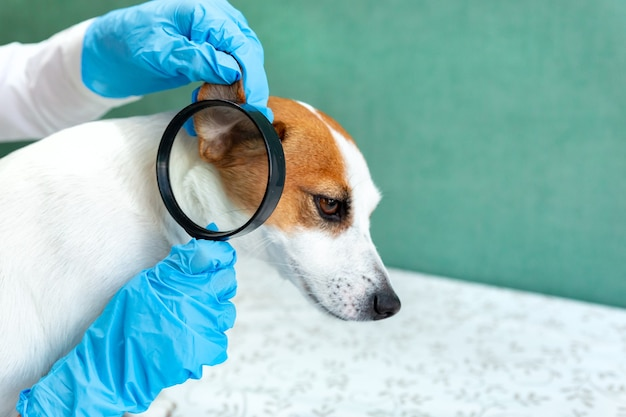 The veterinarian examines the ear of a jack russell terrier dog.