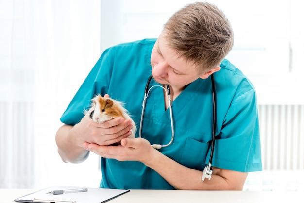 Veterinarian examining guinea pig at veterinary office