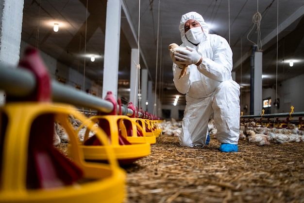 가금류 농장에서 닭을 안고 가축의 건강을 관리하는 수의사.