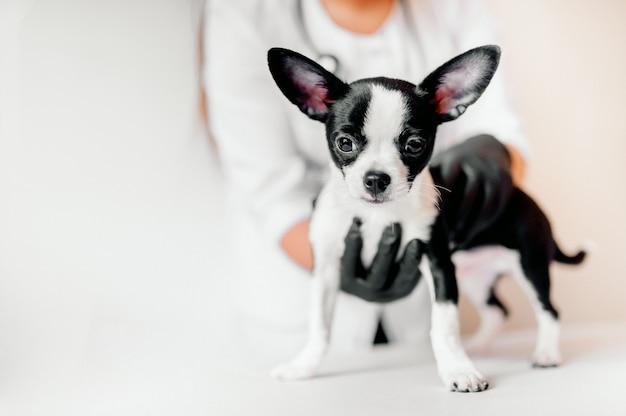 Ветеринар держит милого черно-белого щенка на приеме
