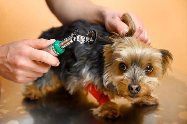 동물 병원에서 테이블에 검 이경으로 개 귀를 검사하는 수의사