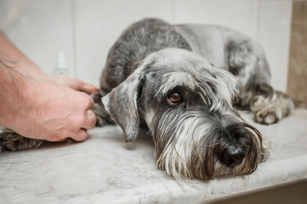 Veterinarian is doing syringe to check for blood. analyze healthy of dog. breed - schnauzer
