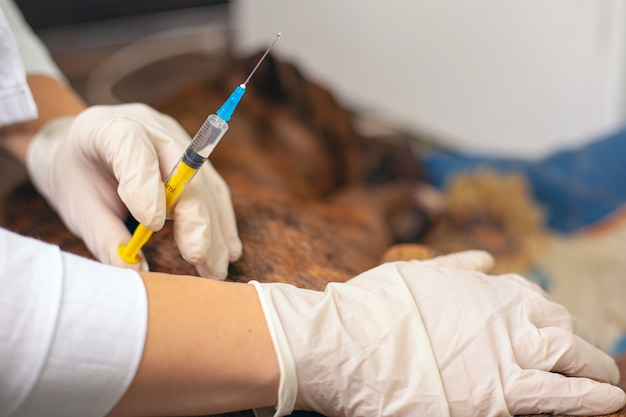 Veterinarian is preparing give an injection to a dog. veterinary ambulance for sick animals. rabies vaccine close-up.
