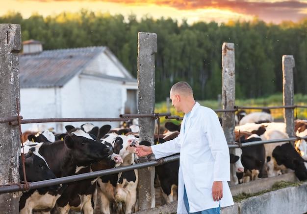Ветеринарный врач в белом халате на ферме коровы
