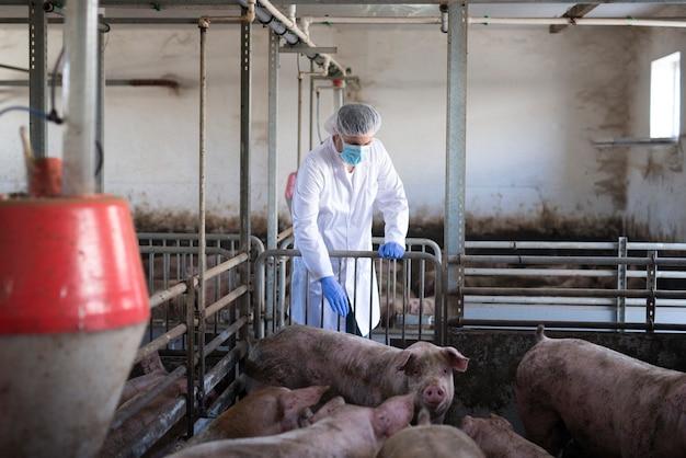 Veterinario che osserva i suini all'allevamento di suini e controlla la loro salute e crescita