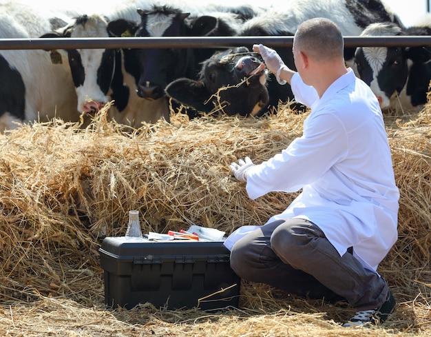 獣医師は、テストで箱に座っている牛に手を差し伸べます