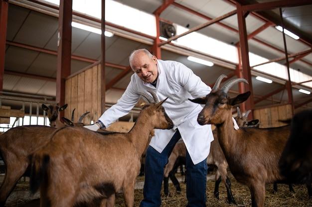 농장에서 염소 가축을 돌보는 수의사. 식량 생산을위한 동물의 건강 관리.