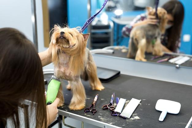Ветеринар стрижет йоркширского терьера машинкой для стрижки волос в ветеринарной клинике.