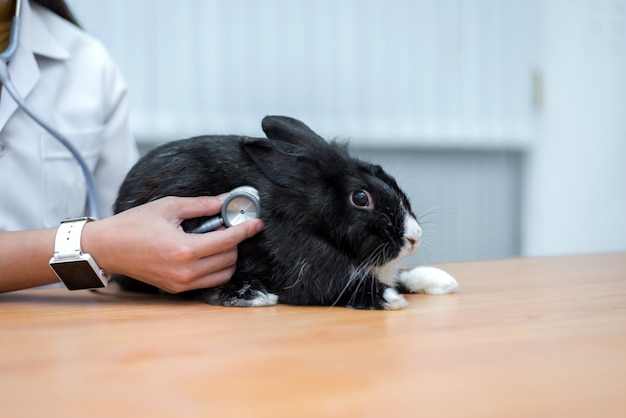 Veterinarian use stethoscope to diagnose cute rabbit
