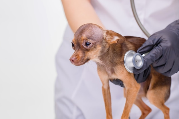 Veterinarian at vet clinic listens to cute puppy with stethoscope sad little dog on vet table