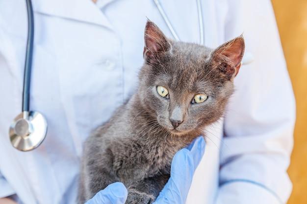 Ветеринар со стетоскопом держит и осматривает серого котенка