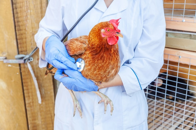 Veterinarian with stethoscope holding and examining chicken on ranch background