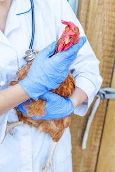 Veterinarian with stethoscope holding and examining chicken on ranch wall. hen in vet hands for check up in natural eco farm. animal care and ecological farming concept.
