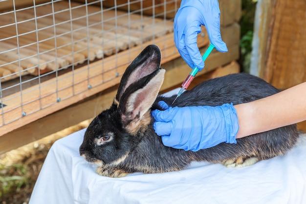 주사기를 들고 목장에 토끼를 주입하는 수의사