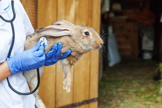 聴診器を押しながら牧場でウサギを調べると獣医の女性をクローズアップ。自然のエコファームでのチェックのための獣医の手でバニー。アニマルケアと生態系農業のコンセプト。