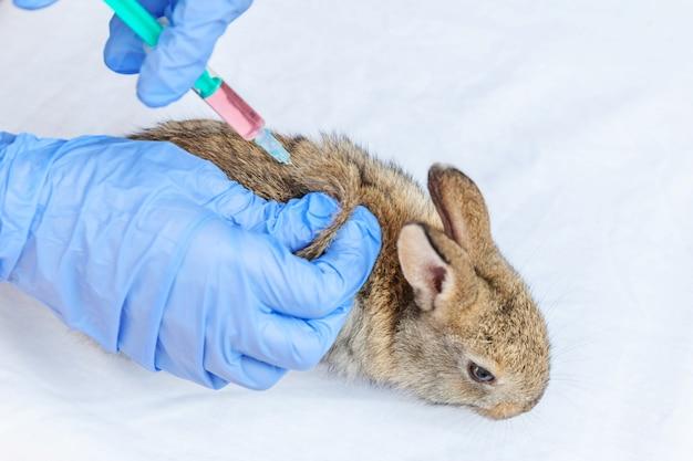 주사기를 들고 토끼를 주입 수의사 여자