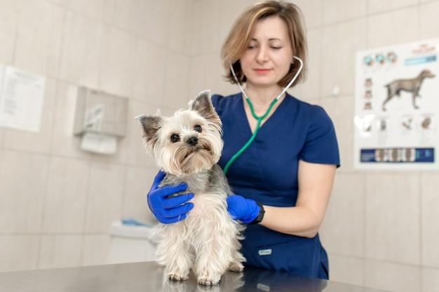 요크셔 테리어 개를 검사하는 수의학 의사