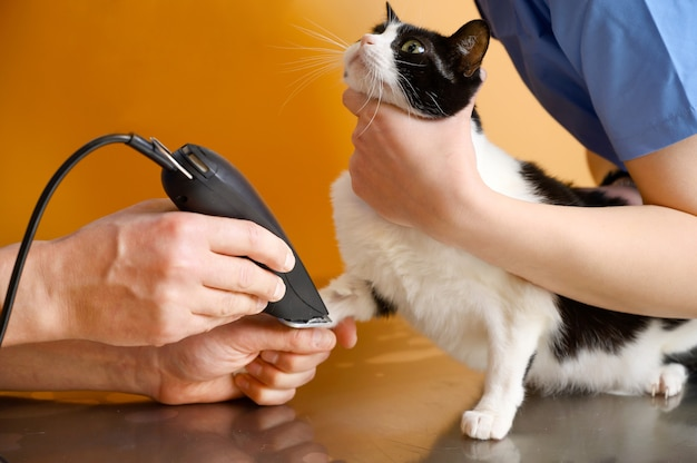 Veterinary doctor with assistant shaving a cat, preparing for operation.