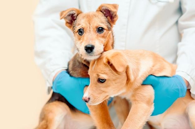 Ветеринарные тесты для собак, подготовьте своих собак к ветеринару.