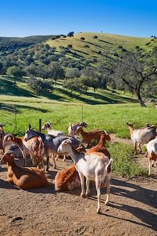 Via de la plata way goats sierra norte seville