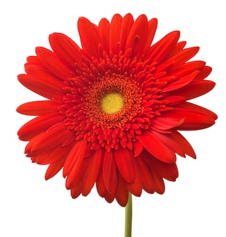 Vibrant bright red gerbera flower