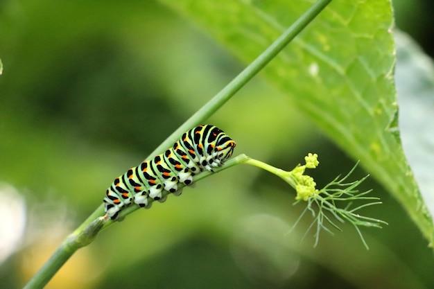 호랑 나비과 애벌레의 활기찬 근접 촬영 샷