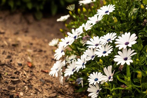 자이언트 데이지 식물의 생생한 전시 oxeye 데이지가 만개한 아름다운 흰색 꽃잎과 함께