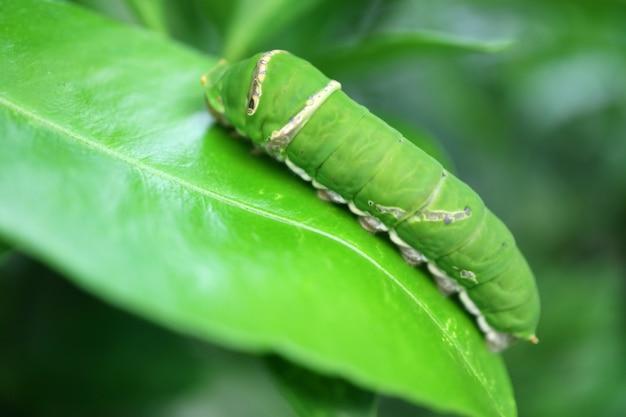 Яркая зеленая лаймовая гусеница-парусник отдыхает на липовом листе