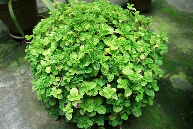 Vibrant green mint shrub in the backyard