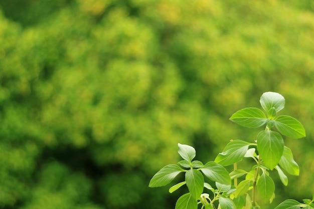 배경에 흐릿한 녹색 정원이 있는 주방 창가에서 자라는 활기찬 녹색 태국 바질 식물