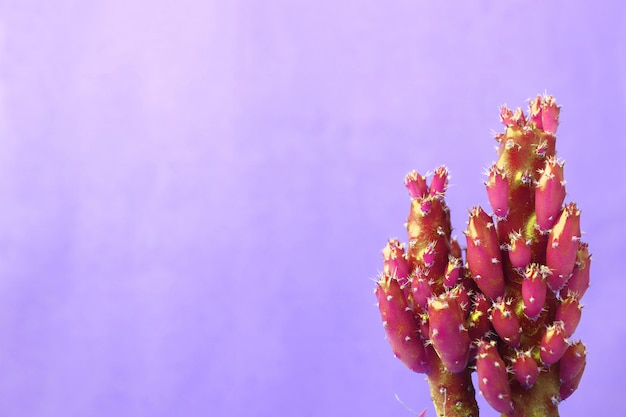 Vibrant magenta mini cactus plants against pastel purple concrete wall