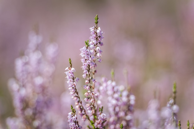 Vibrant pink common heather blossoming outdoors