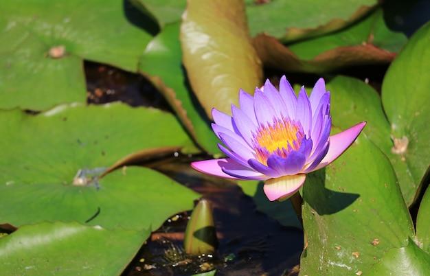 Vibrant purple lotus flower blooming in the sunlight