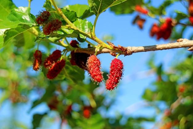 나무에 숙성하는 활기찬 붉은 미숙 뽕나무 열매