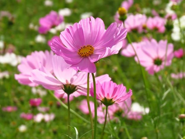 섬세한 핑크 코스모스 꽃밭의 활기찬 샷