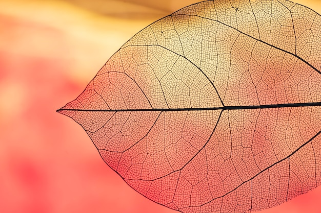 Vibrant transparent orange autumn leaf